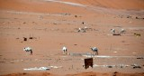 Camels wandering in desert campground, Riyadh, Saudi Arabia 054