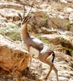 Gazelle on farm in Riyadh, Saudi Arabia 131