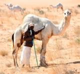 Camel Herder in Saudi Desert, Al Ghat, Saudi Arabia 657