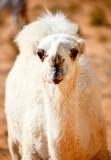 Baby Camel, Al Ghat, Saudi Arabia 609
