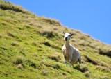 Happy New Zealand Sheep on Mount Maunganui, Tauranga, New Zealand 355