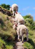 Rule of Three, New Zealand Sheep on Mount Maunganui, Tauranga, New Zealand 351