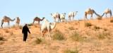 Camel Herder in Saudi Desert, Al Ghat, Saudi Arabia 449