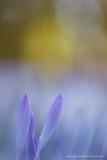 2N9B7067 spring crocus