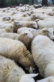 2N9B5407 flock of sheep