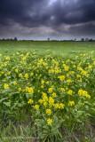 2N9B0401 rapeseed in Dutch country
