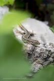 2N9B1894 common wall lizard - muurhagedis