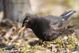 009 Common Blackbird-male.JPG