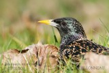 013-Common Starling.jpg