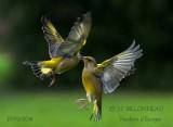 014-European Greenfinch.jpg