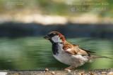 014 House Sparrow-male.JPG