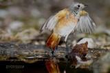015 Common Redstart.jpg