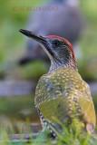 020 European Green Woodpecker.JPG