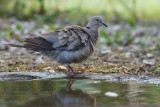019 Eurasian Collared Dove.jpg