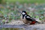 019 Great Spotted Woodpecker.jpg