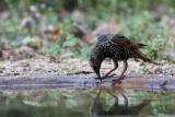 022 Common Starling.jpg