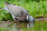 018 Common Wood Pigeon.jpg