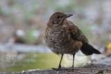 024 Common Blackbird.jpg