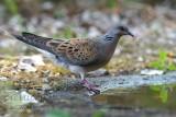 033 European Turtle Dove.jpg