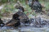 035 Common Starling.jpg