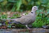 040 Eurasian Collared Dove.JPG