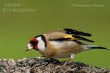 041 European Goldfinch.jpg