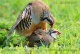 045-Red-legged-Partridge.jpg