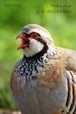 046-Red-legged-Partridge.jpg