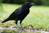 048 Carrion Crow.jpg