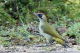 056 European Green Woodpecker.jpg