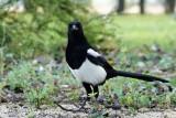 057 Eurasian Magpie.jpg