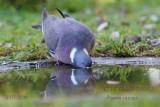 060 Common Wood Pigeon.jpg