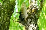 061 Common Starling.jpg
