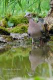 002 European Turtle Dove.JPG
