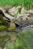 018 European Greenfinch male.jpg