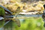021 European Greenfinch.jpg