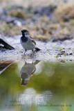 029 House Sparrow male.jpg