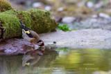 036 European Goldfinch.jpg