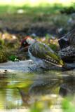 040 European Green Woodpecker.jpg