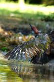 041 European Green Woodpecker.jpg