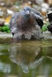 064 Common Wood Pigeon.jpg