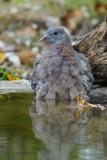 065 Common Wood Pigeon.jpg