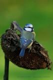Eurasian Blue Tit .2.jpg