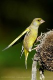 107 European Greenfinch male.jpg