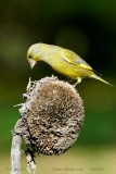 108 European Greenfinch male.jpg