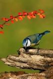 035 Eurasian Blue Tit.jpg