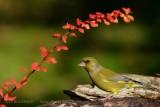 038 European Greenfinch male.jpg
