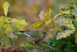 122 European Greenfinch male.jpg