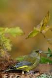 123 European Greenfinch male.jpg