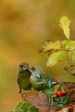 124 European Greenfinch.jpg